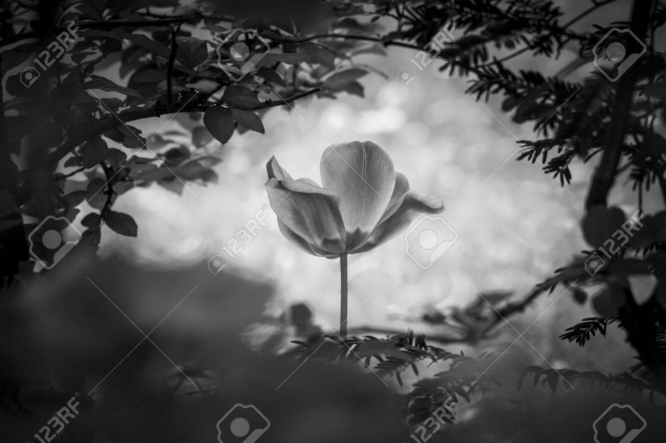 905558d91c Risurrezione tulipano in bianco e nero per amore di pace di speranza. Il  fiore è un simbolo per la forza della vita e l'anima e la forza al di là di  dolore ...
