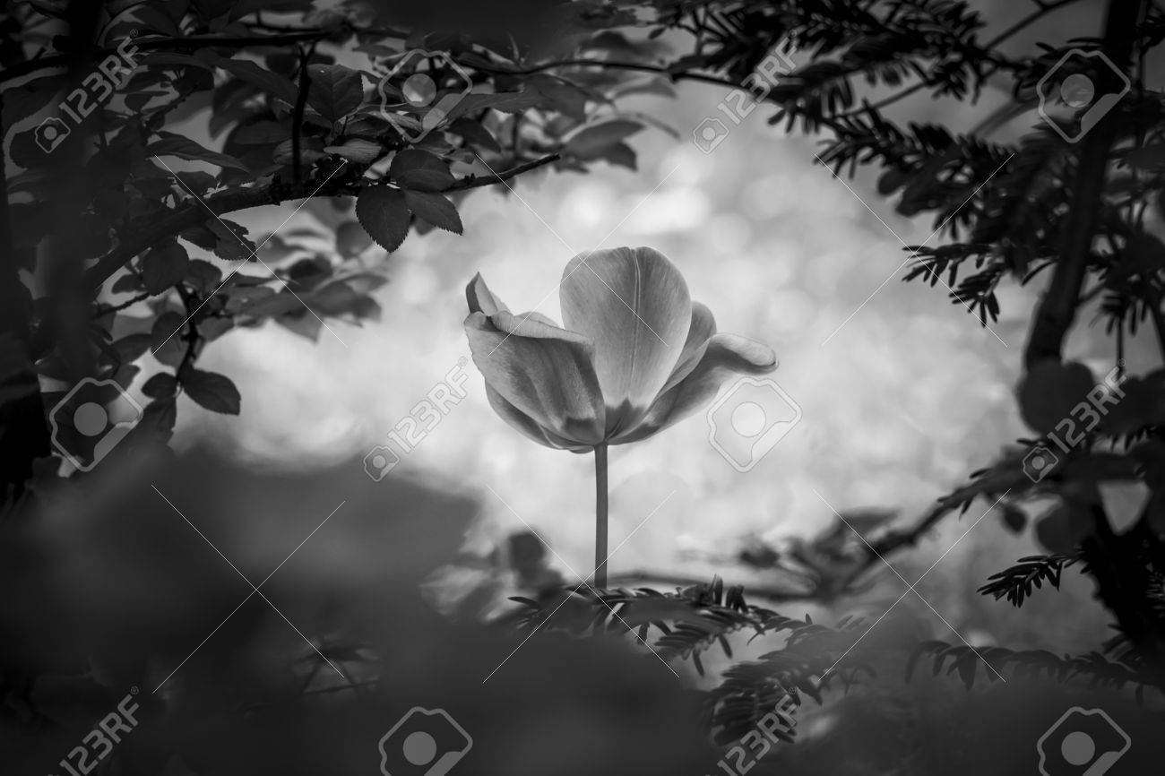 Tulip resurrection in black and white for peace love hope the tulip resurrection in black and white for peace love hope the flower is a symbol buycottarizona Images