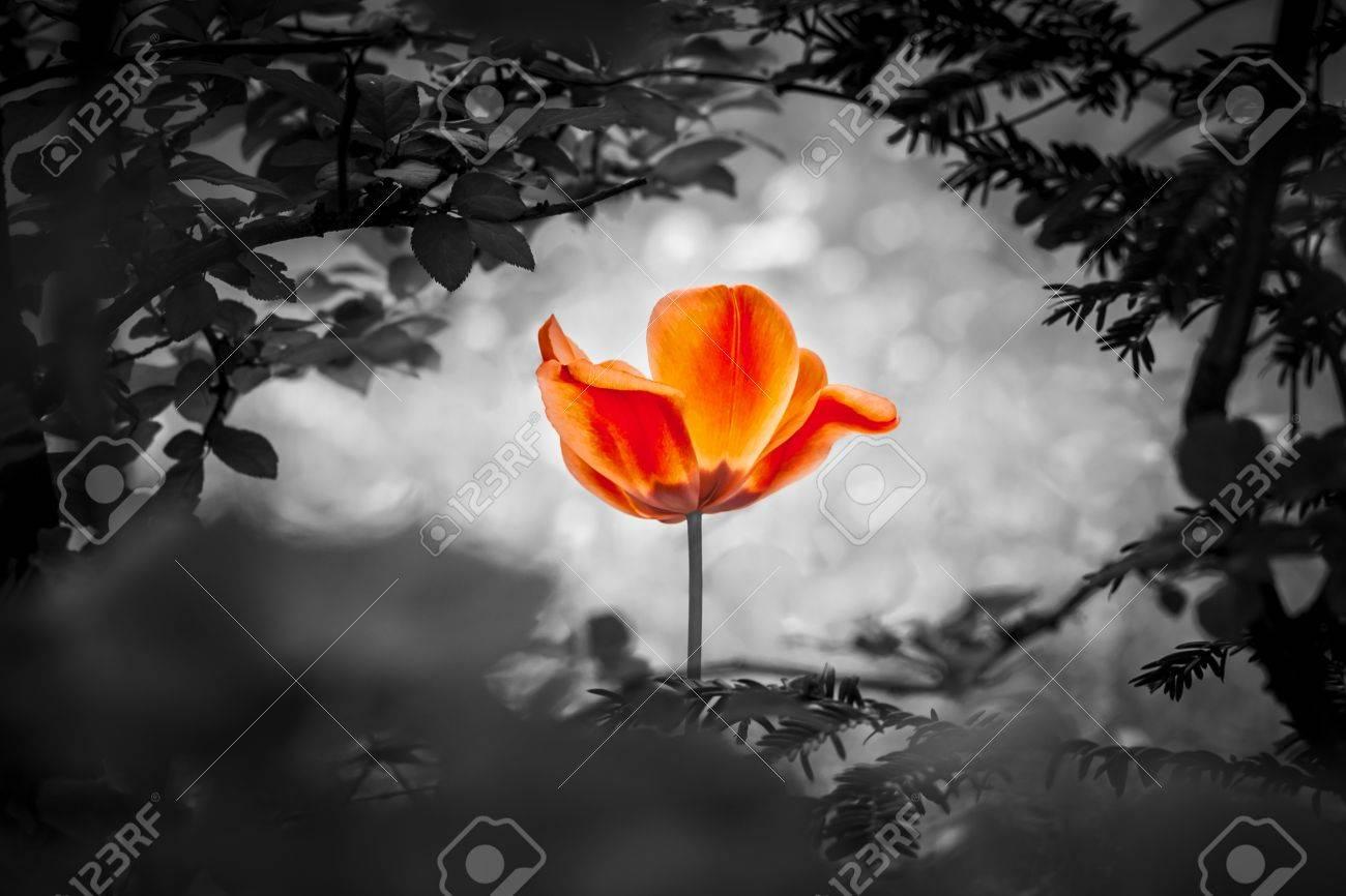 Immagini Stock Tulipano Rosso Risurrezione In Bianco E Nero Per