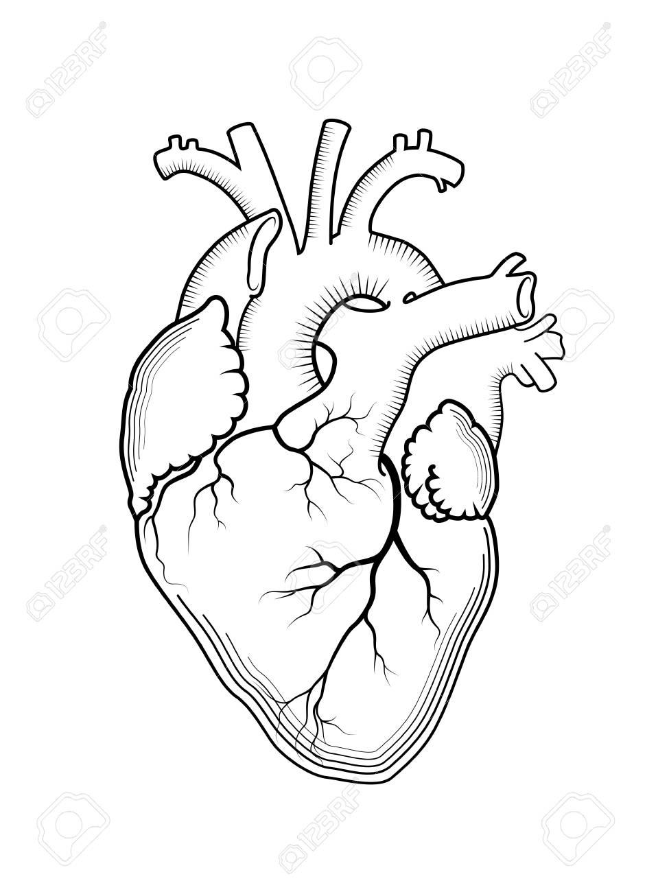 Corazón. El órgano Humano Interno, Estructura Anatómica. Grabado ...