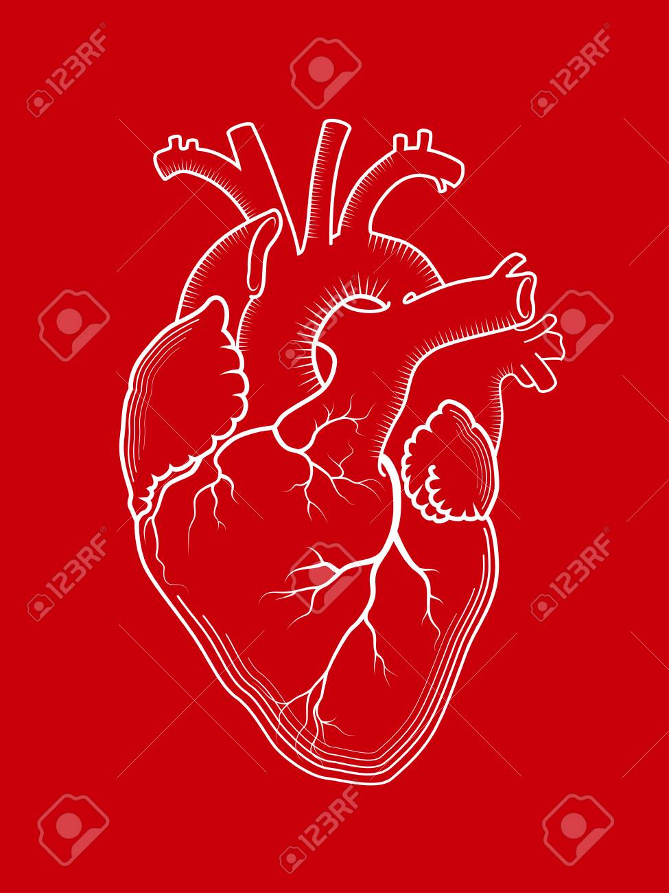 Heart. The Internal Human Organ, Anatomical Structure. Red Detailed ...