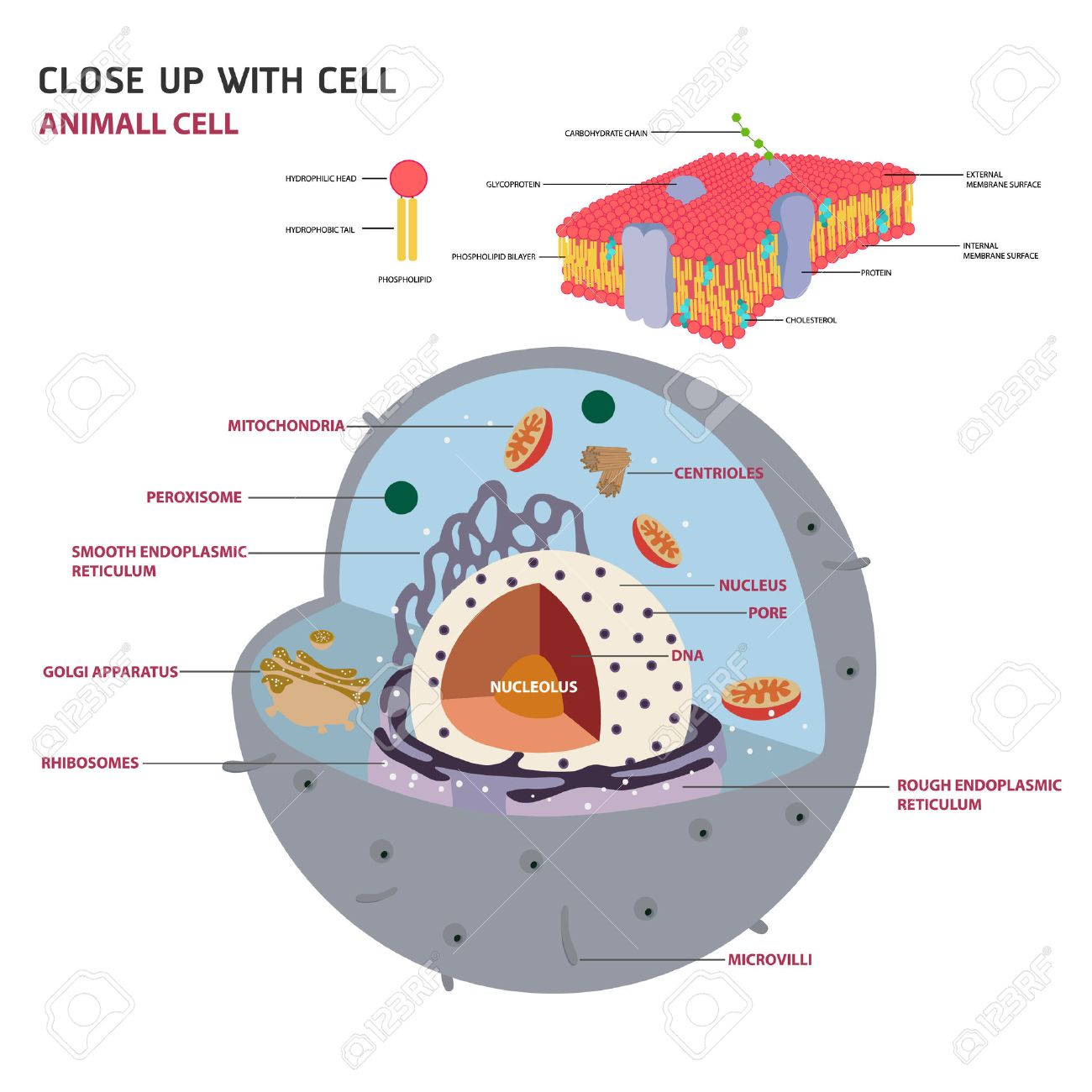Lysosome stock photos royalty free lysosome images animal cell cross section structure of a eukaryotic cell vector diagram illustration ccuart Choice Image