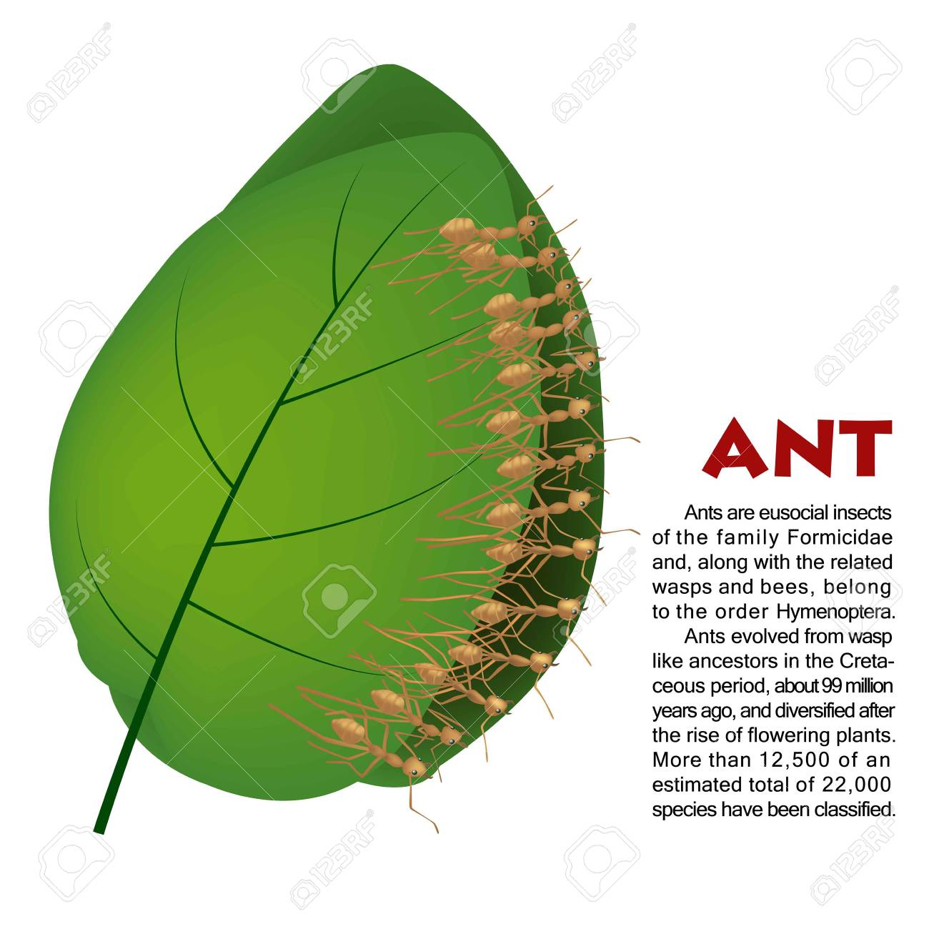 real ant insect illustration life cycle royalty free cliparts Life Expectancy of an Ant real ant insect illustration life cycle stock vector 76222836