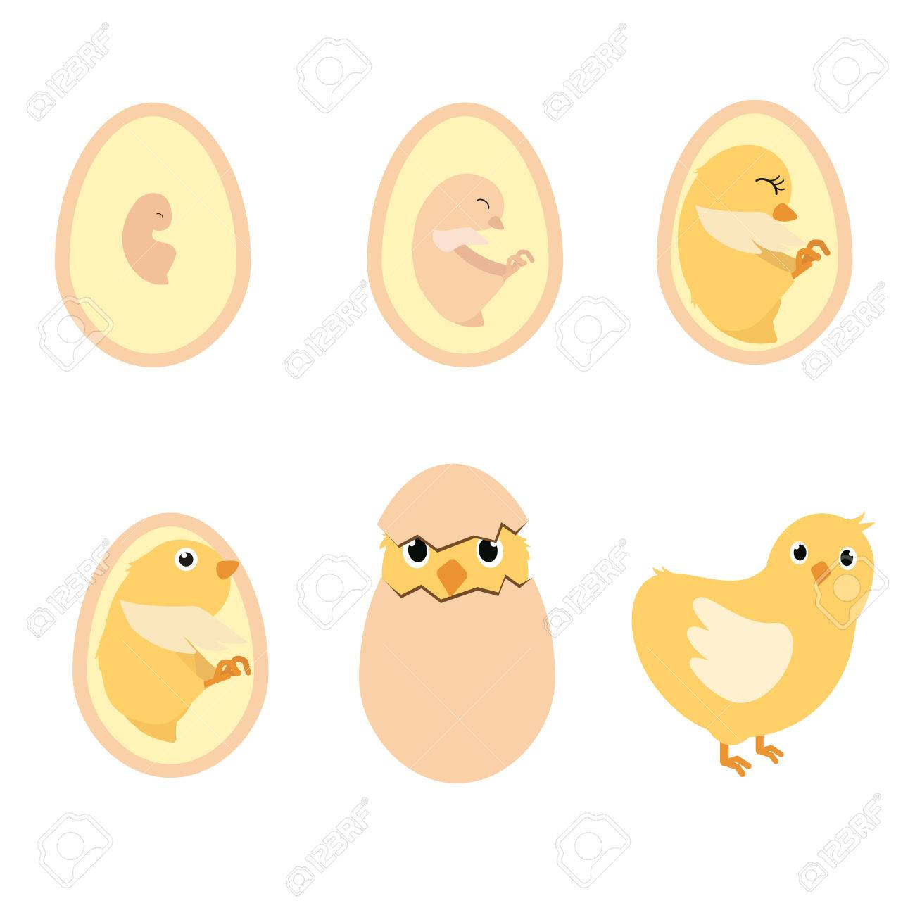 Chicken Egg Life Cycle And Anatomy Illustration Vector Royalty Free