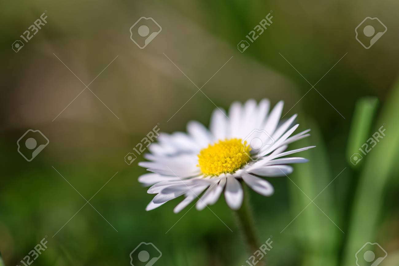 Beautiful Alone Field Daisy Flower With White Petals Grows In