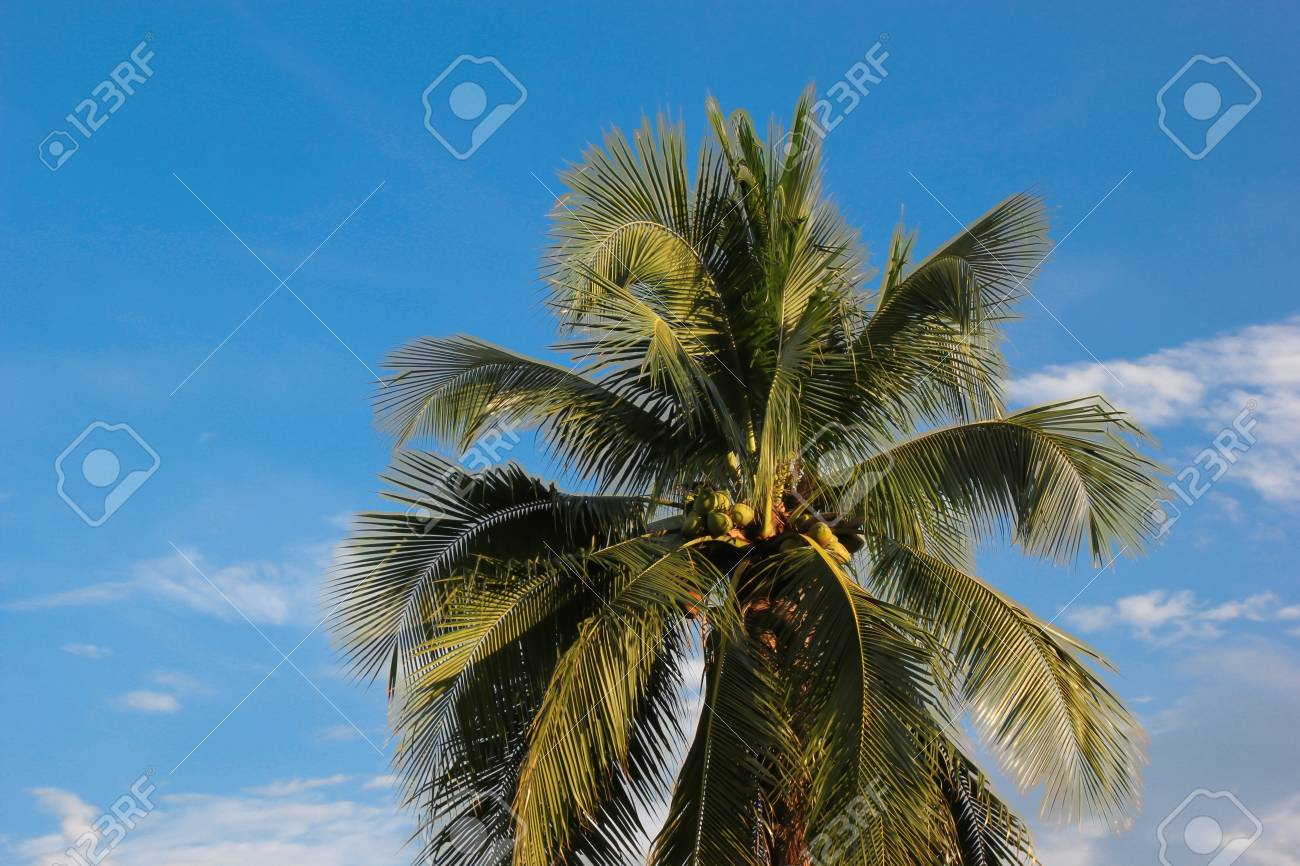 coconut,  tropical,  palm,  nature,  tree,  beach Stock Photo - 15577164