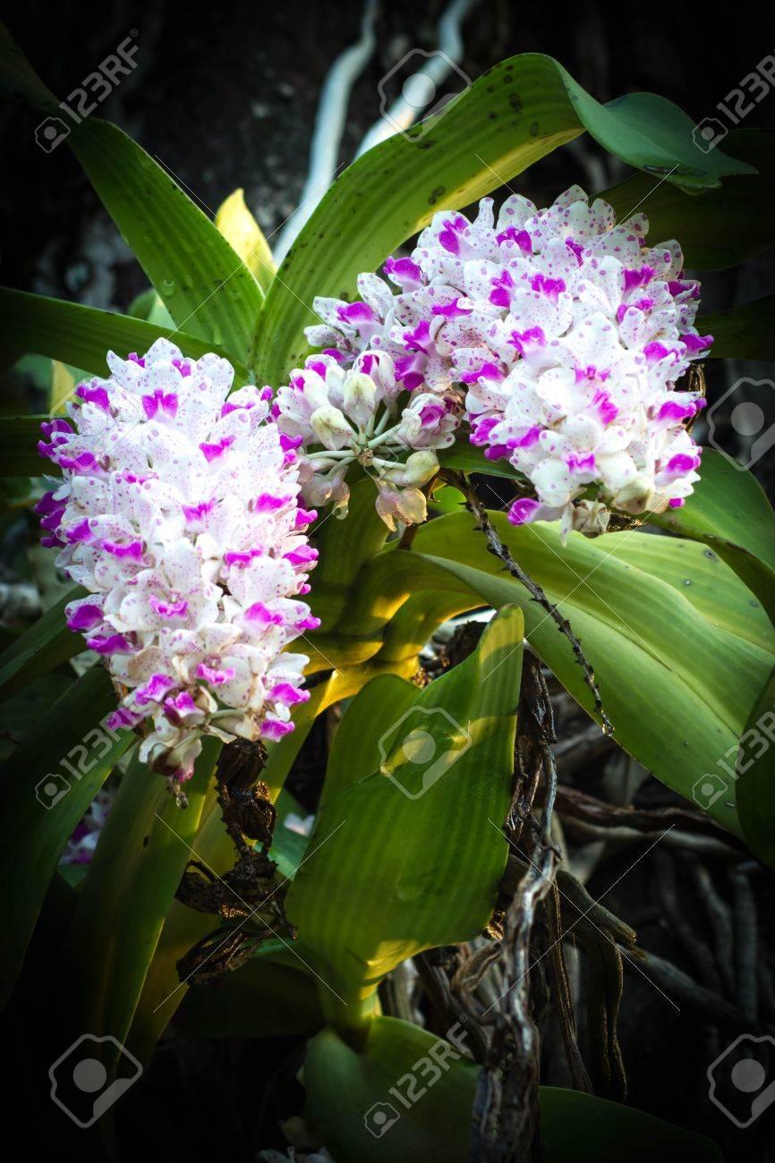 Chang Tailandia Kra Orquídea En El árbol De Mango. Fotos, Retratos ...