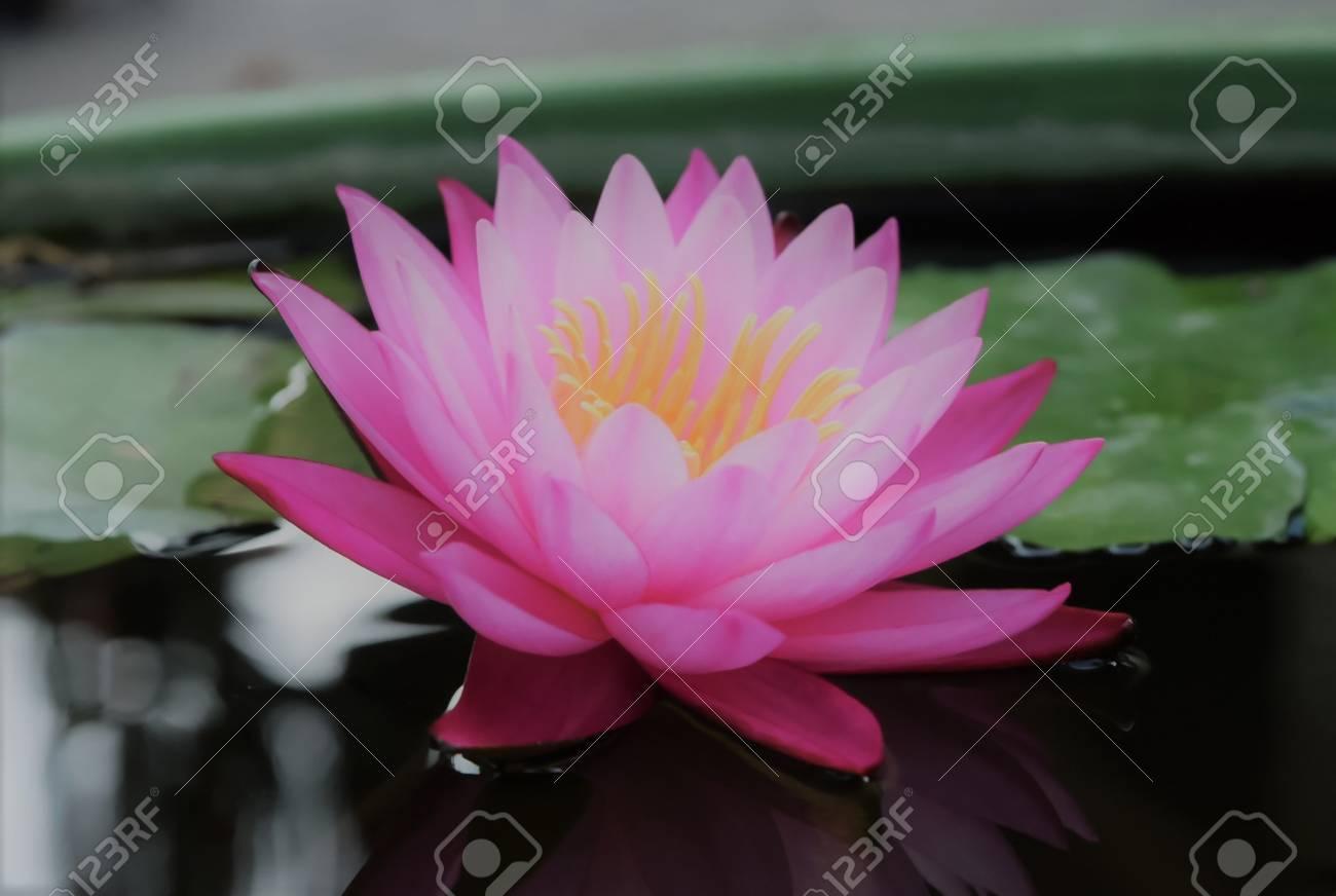 Closeup of blooming thai pink waterlily or lotus flower stock photo closeup of blooming thai pink waterlily or lotus flower stock photo 74337848 izmirmasajfo