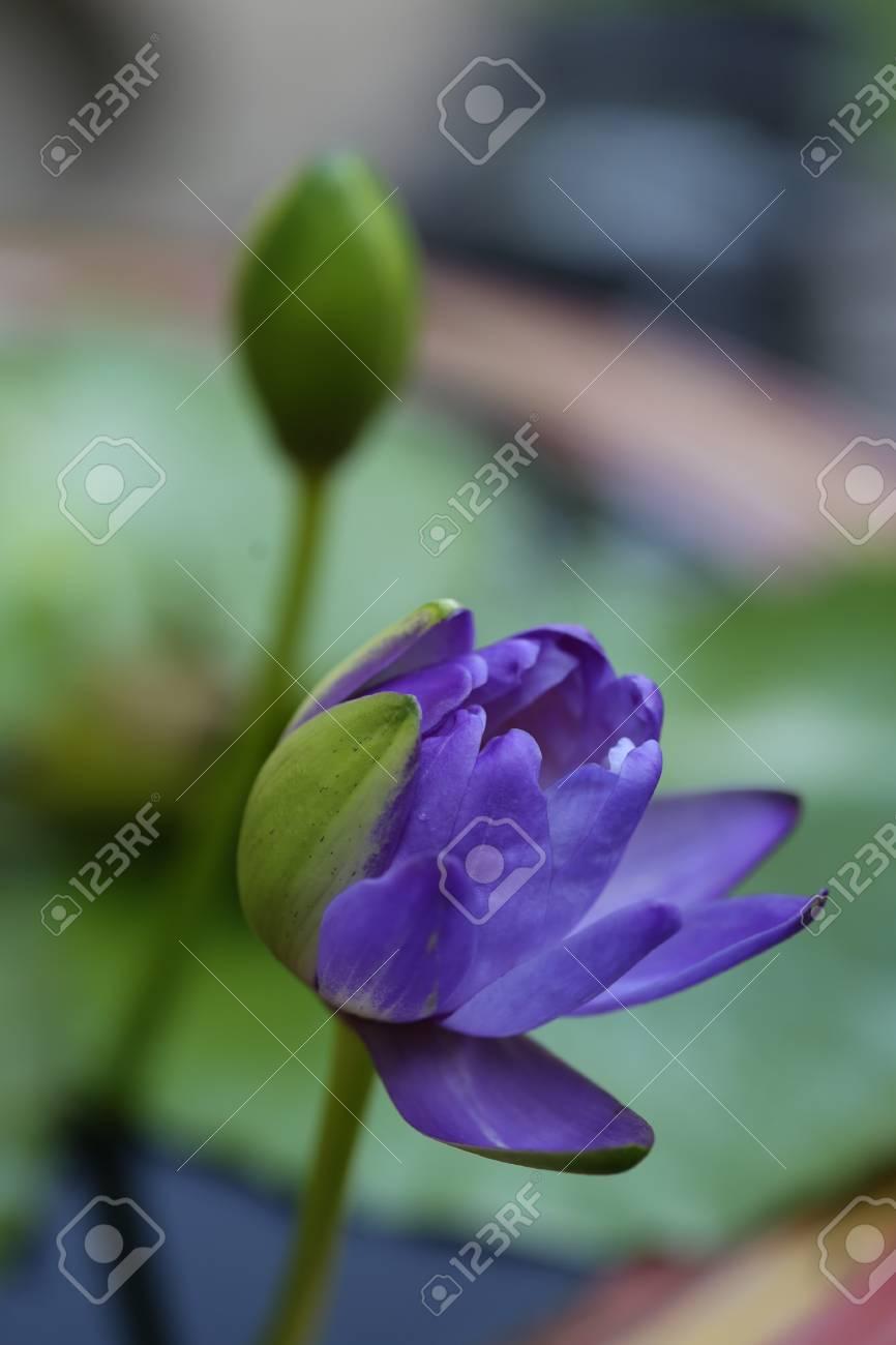 Closeup blooming blue australian giant waterlily or lotus flower closeup blooming blue australian giant waterlily or lotus flower stock photo 76410338 mightylinksfo