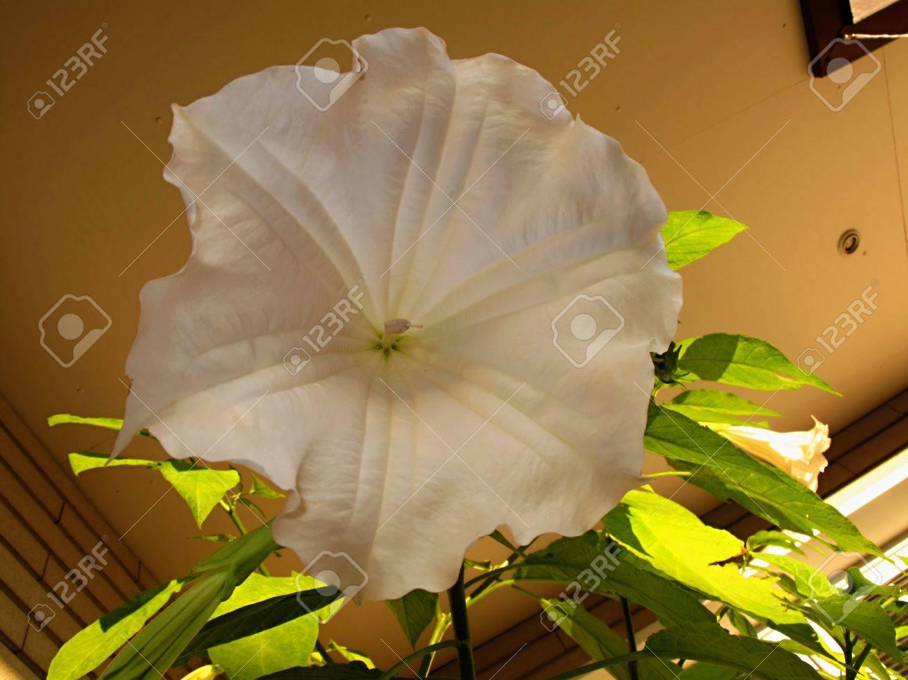 Datura datura white flower detail stock photo picture and royalty datura datura white flower detail stock photo 10626836 mightylinksfo