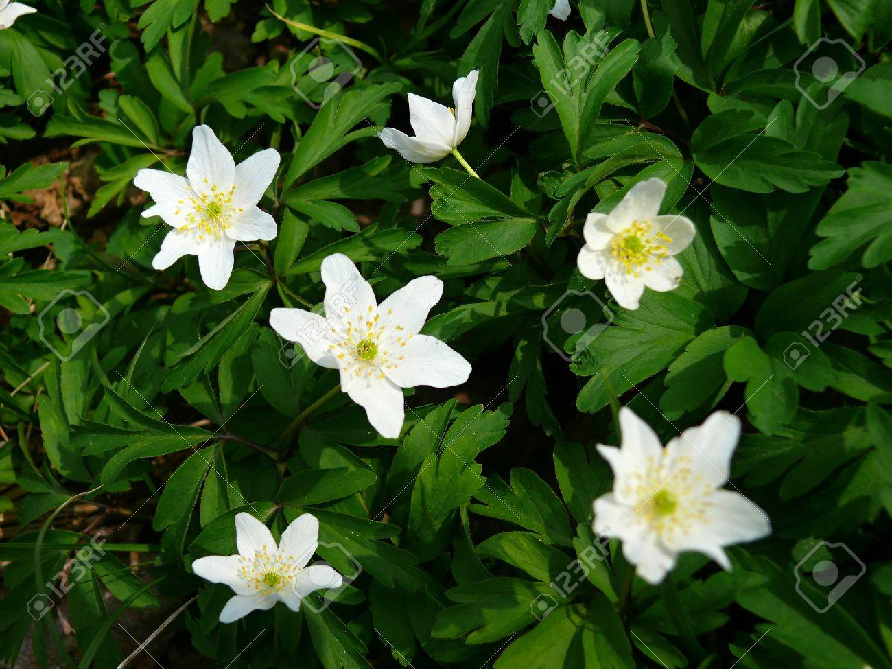 Bunch Of White Flowers In Spring Anemones Stock Photo Picture And