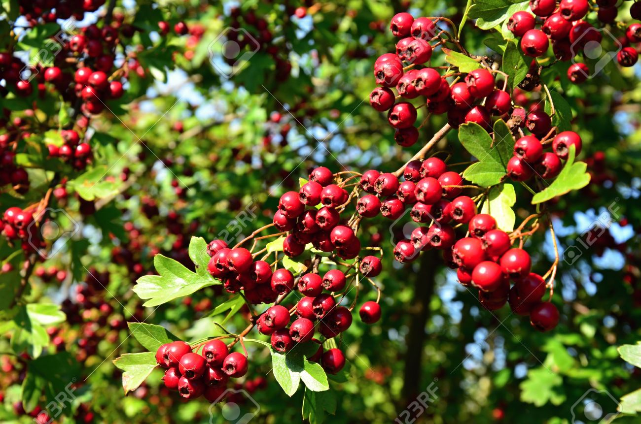 Hawthorn Small Tree With Red Berries Stock Photo Picture And