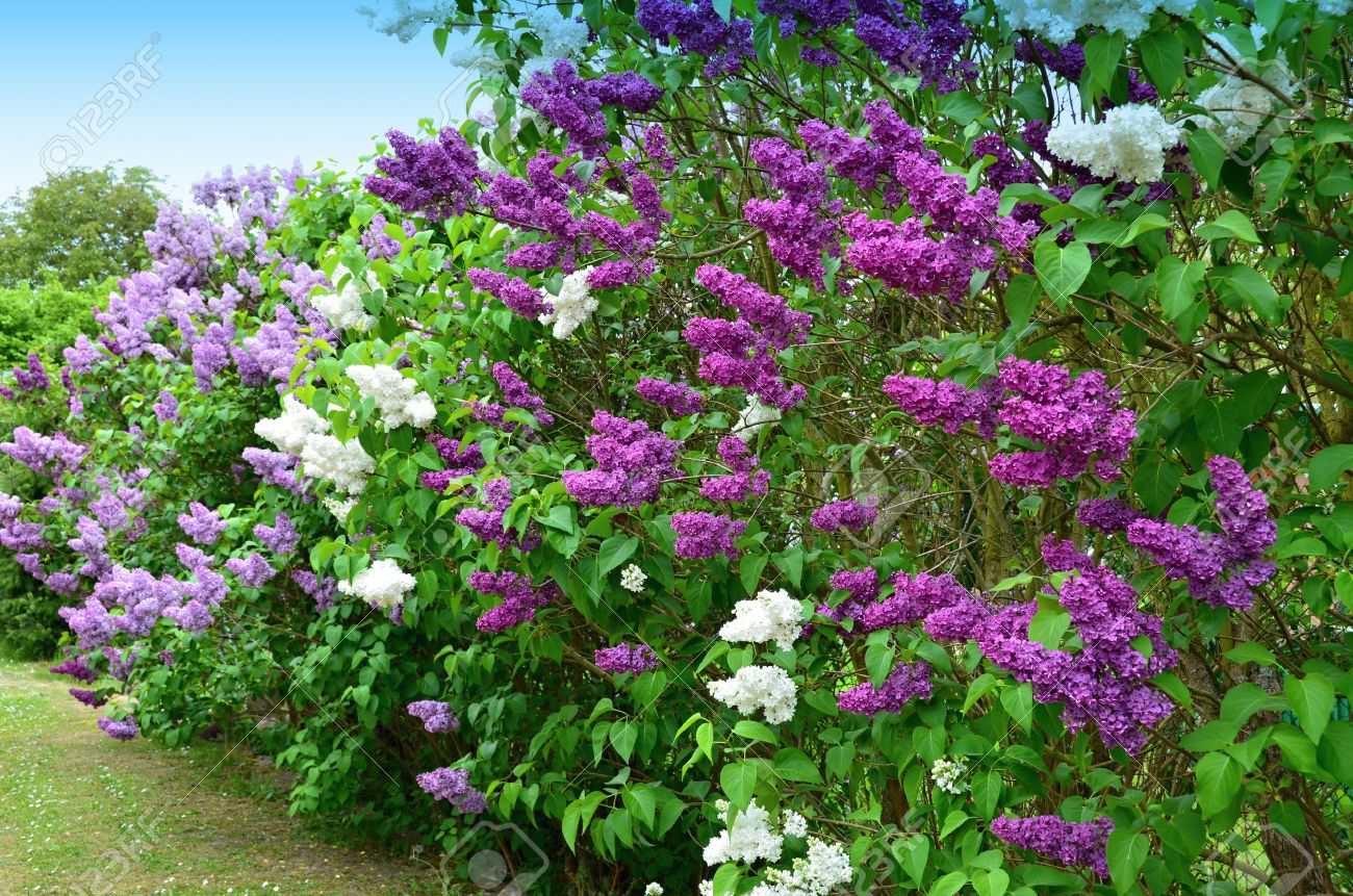 Lilac flowering shrub of white and purple flowers angiosperms stock lilac flowering shrub of white and purple flowers angiosperms stock photo 56852169 mightylinksfo