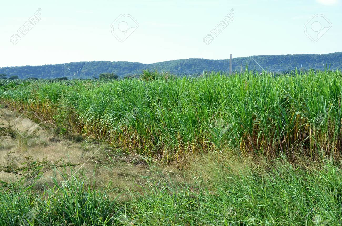 Sugar Cane Field On Cuba Island Stock Photo Picture And Royalty