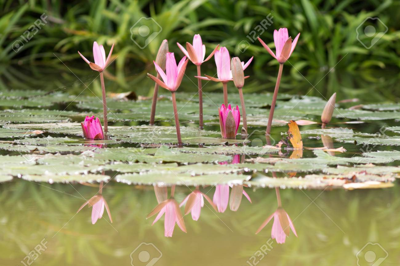 Beautiful lotus flower is complimented by the rich colors of stock beautiful lotus flower is complimented by the rich colors of the deep blue water surface izmirmasajfo