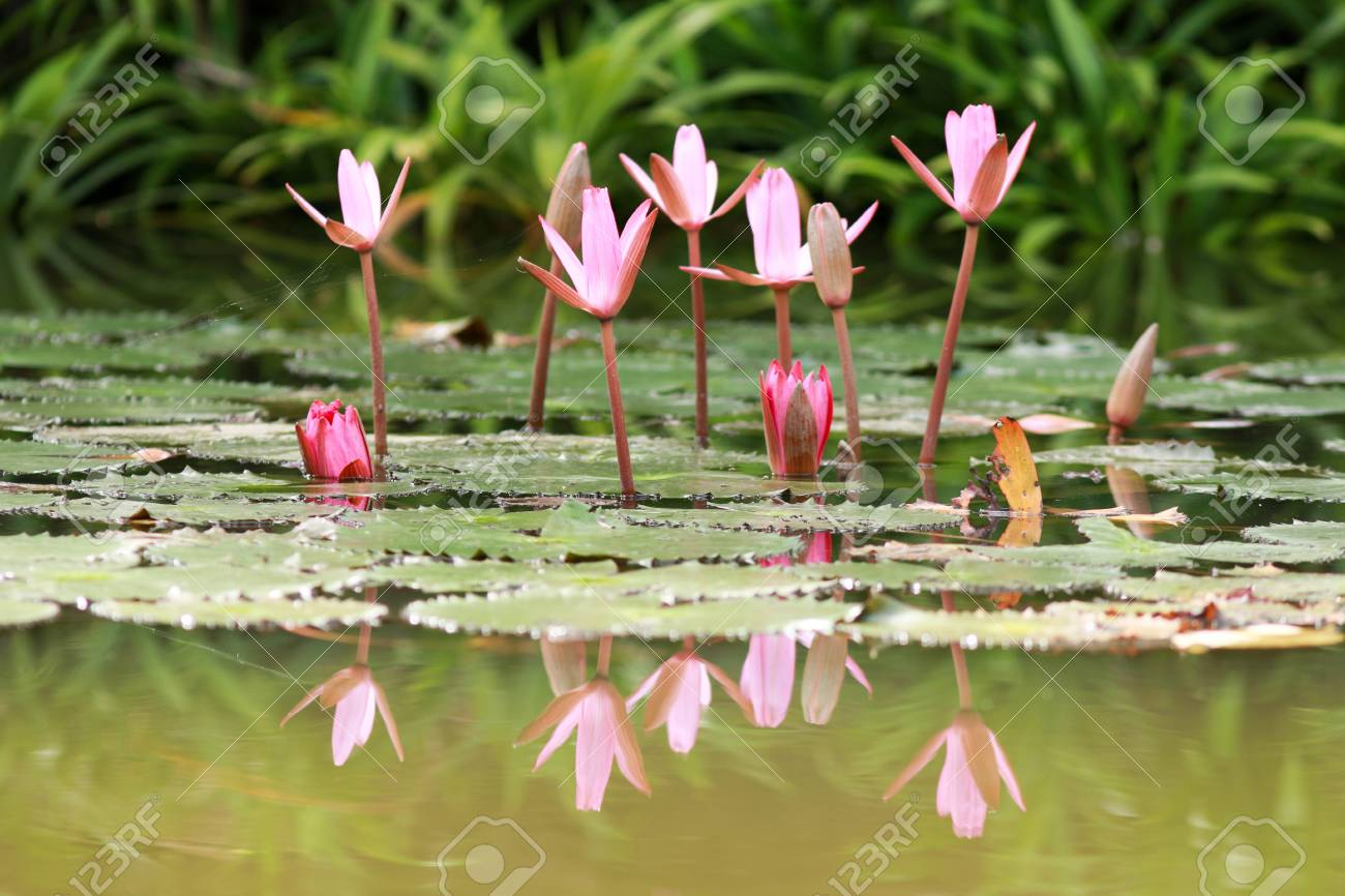 Beautiful Lotus Flower Is Complimented By The Rich Colors Of Stock