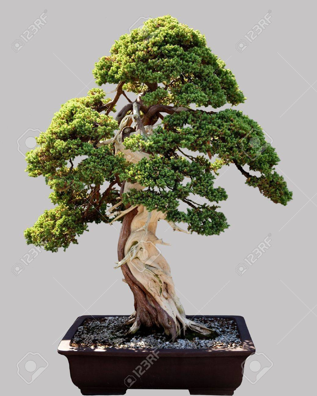 Miniature japanese bonsai tree isolated against grey and standing in small pot Stock Photo - 12451463
