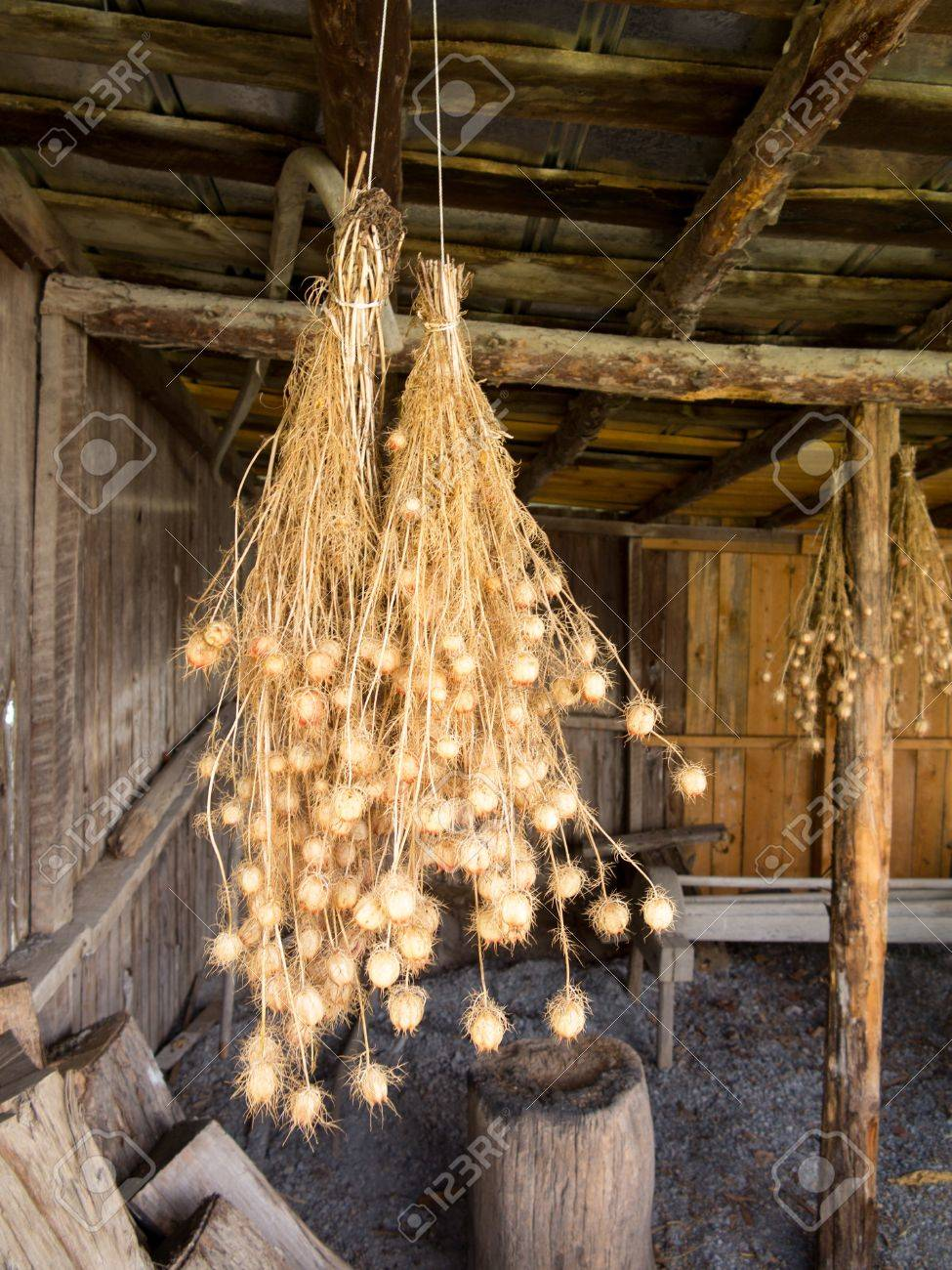 Bunches of drying Nigella plant herbs hanging from rafters of wooden barn Stock Photo - 14591180