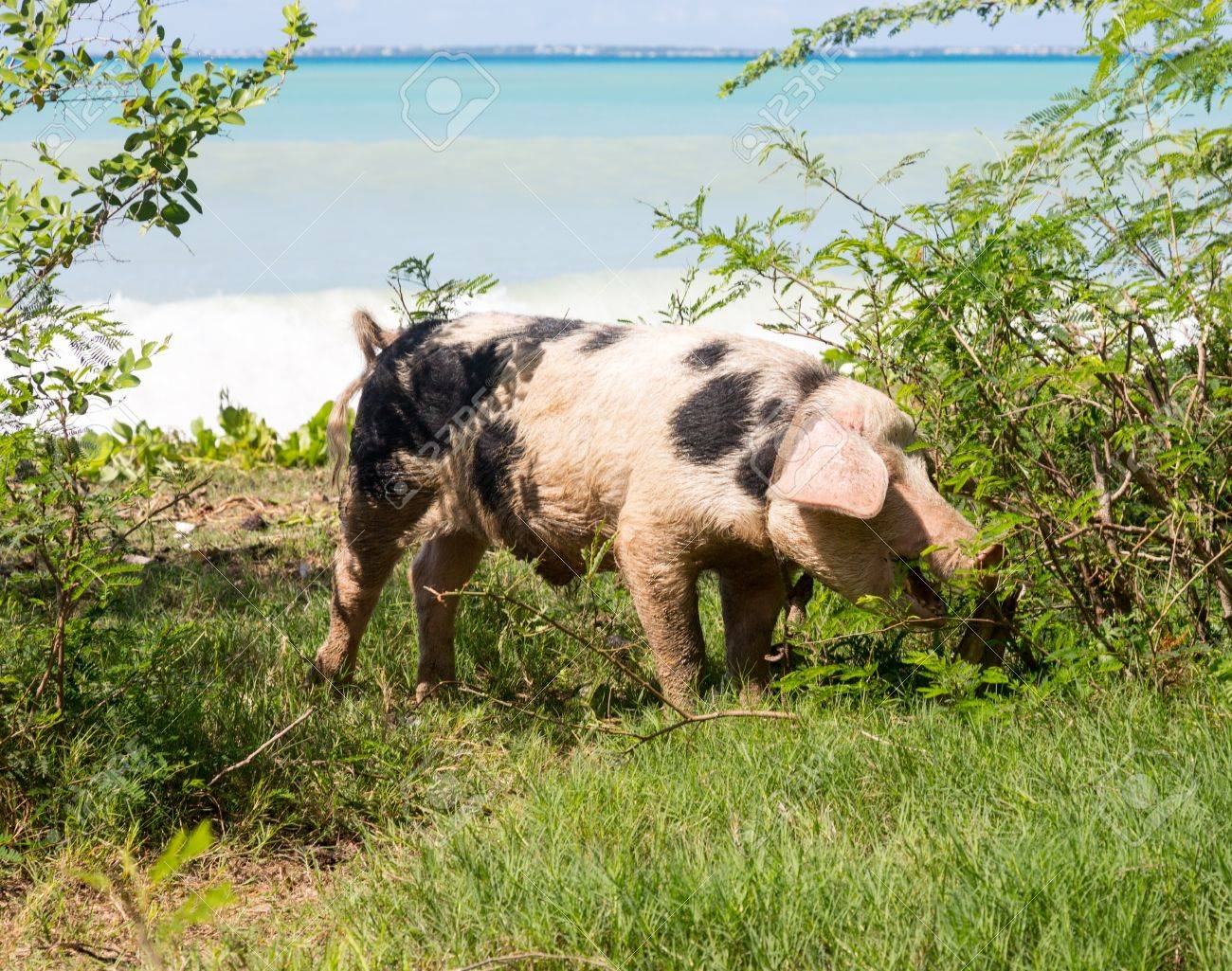 wild pig eating bushes by sandy beach and ocean on st martin
