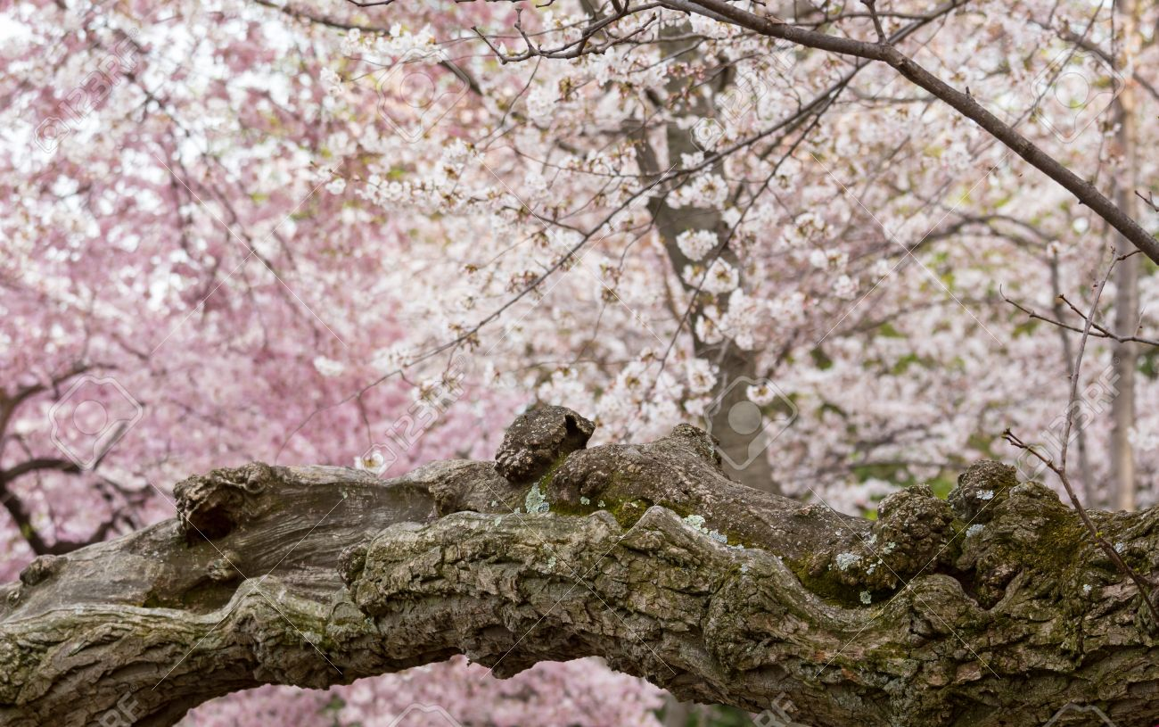 Detailed photo of a gnarled bark and trunk of bright japanese cherry detailed photo of a gnarled bark and trunk of bright japanese cherry blossom flowers set against mightylinksfo