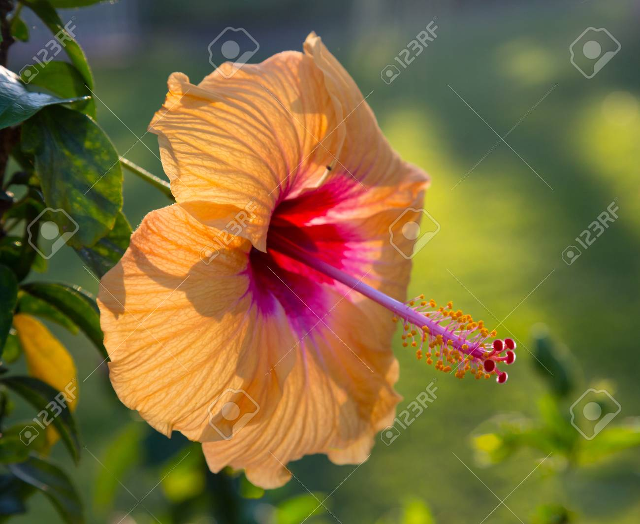 Large yellow hibiscus flower in hawaiian garden backlit by the large yellow hibiscus flower in hawaiian garden backlit by the setting sun to give warm glow izmirmasajfo Gallery