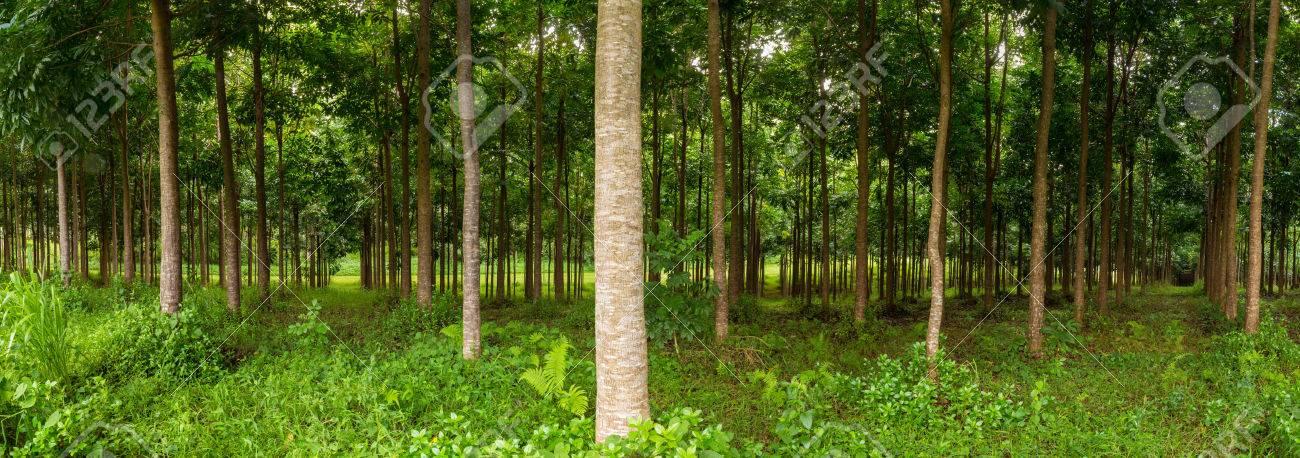Mahagonibäume  Panorama Der Stämme In Anpflanzung Von Mahagoni Bäume In Kauai ...