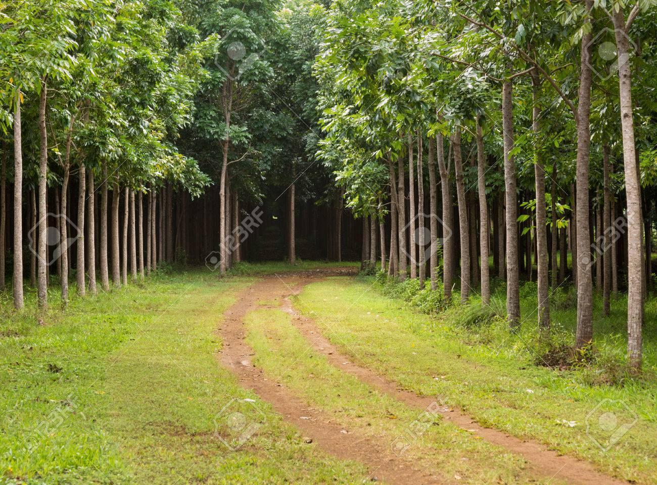 Mahagonibäume  Pathway Oder Spur Führt Durch Anpflanzung Von Mahagoni Bäume In ...