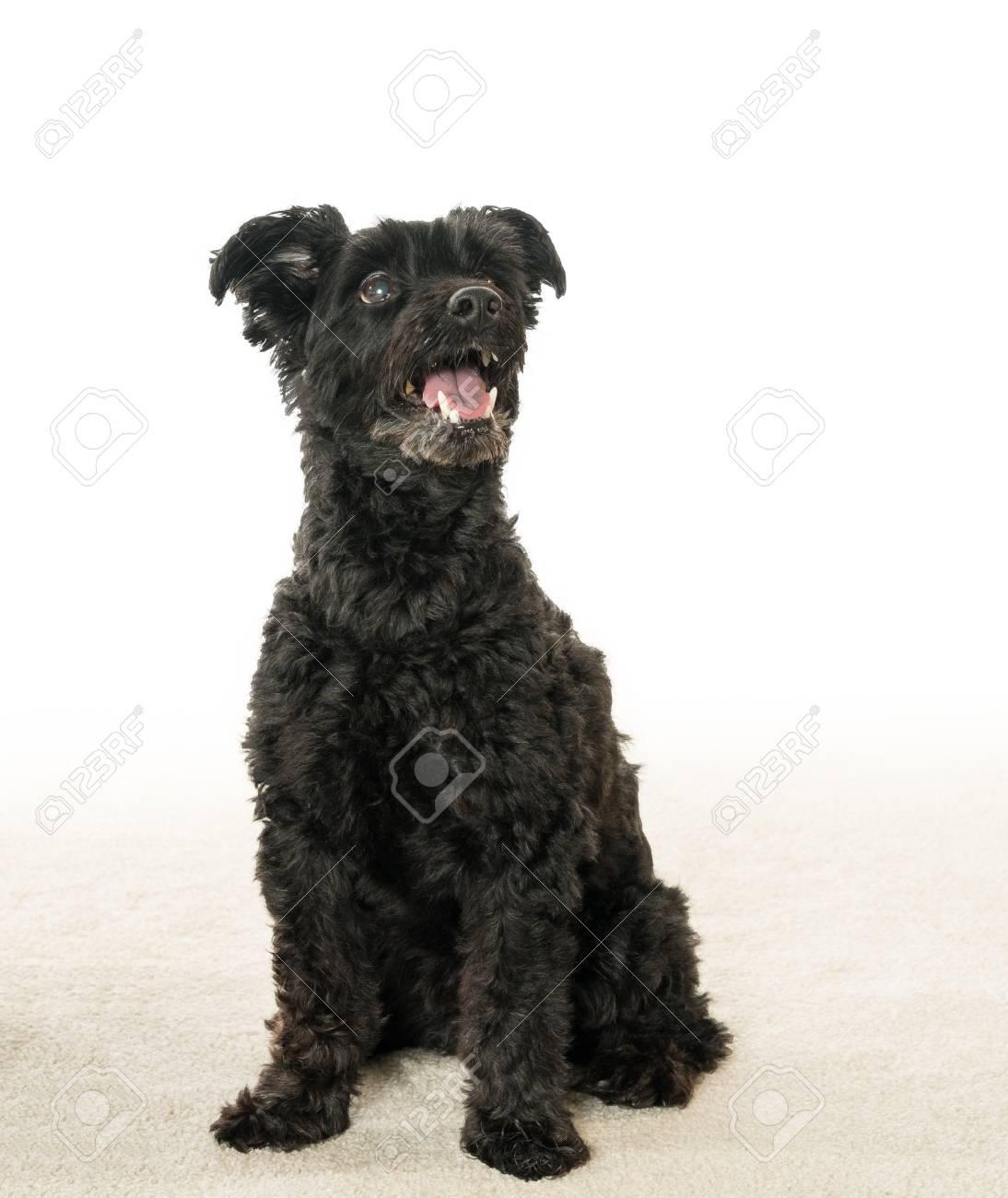 Isolierte Porträt Von Schwarzen Yorkie Poo Oder Yorkshire Terrier