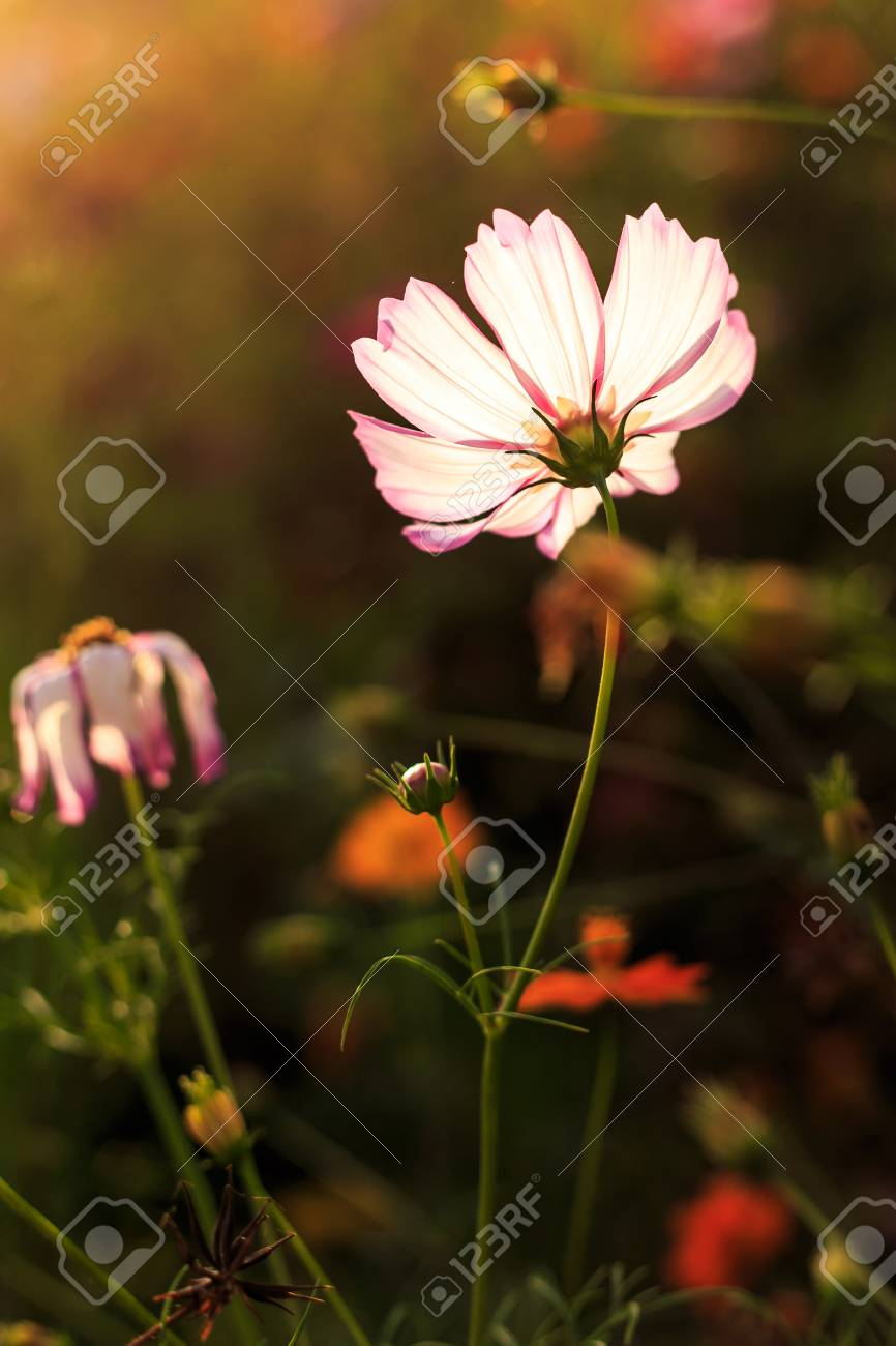 Ge Sang Flower On The Roadside Stock Photo, Picture And Royalty Free ...