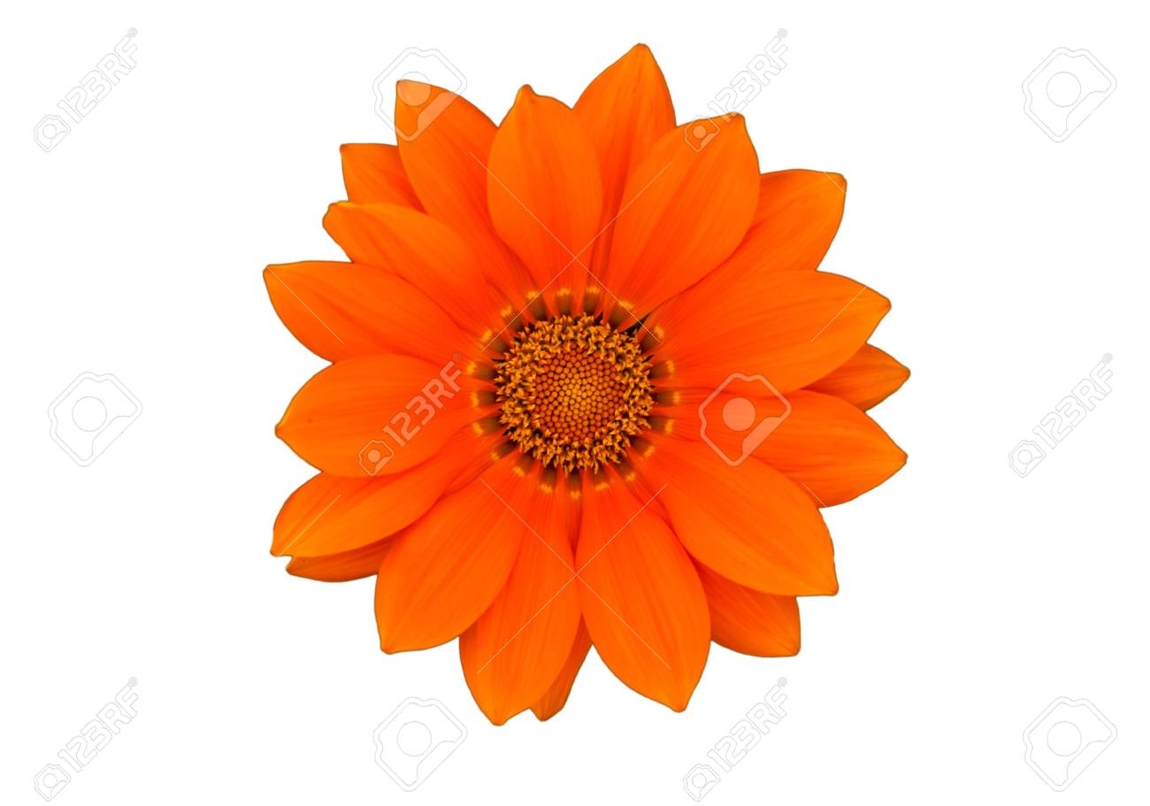 Orange flower Isolated on white background Stock Photo - 20381883