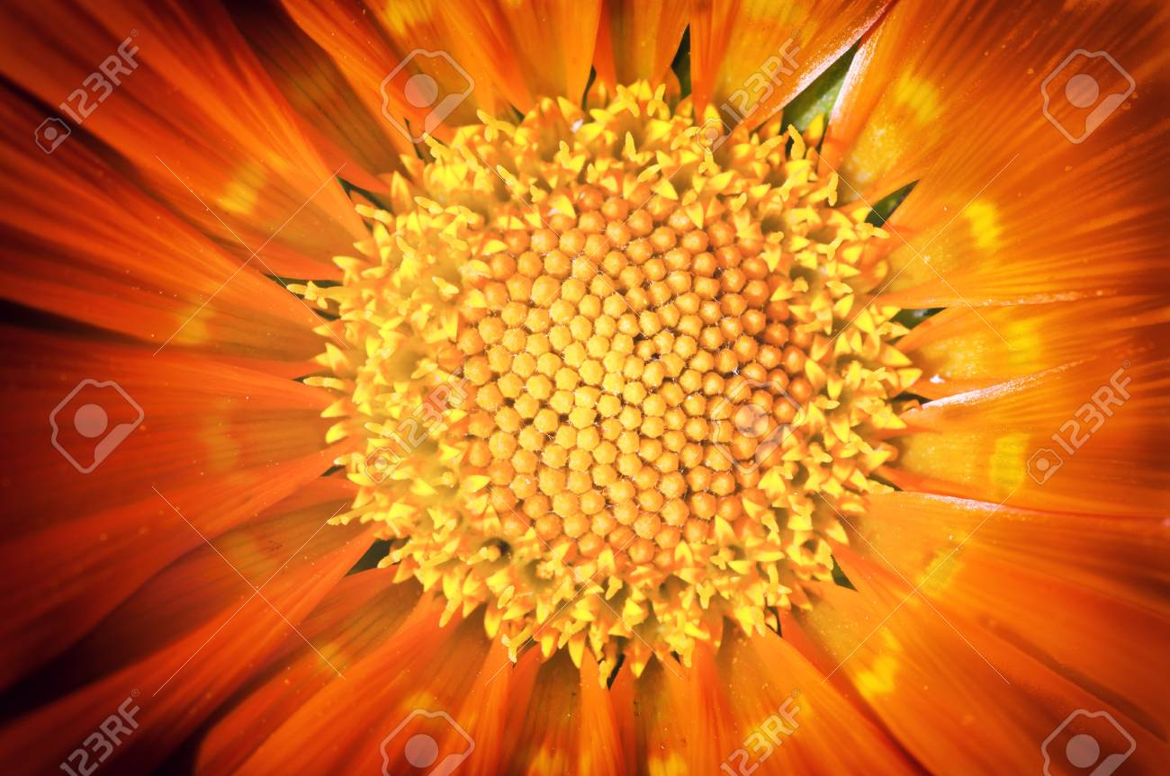 Macro shoot of yellow pollen in the middle of flower Stock Photo - 20916896