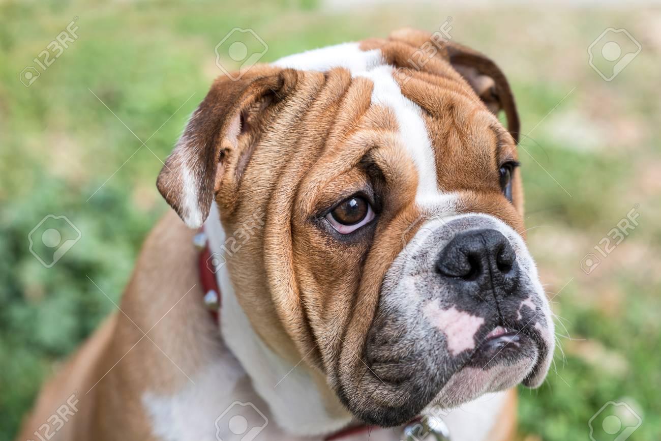 Filhote De Bulldog Inglês Jovem Posando Foco Ao Ar Livre Seletivo