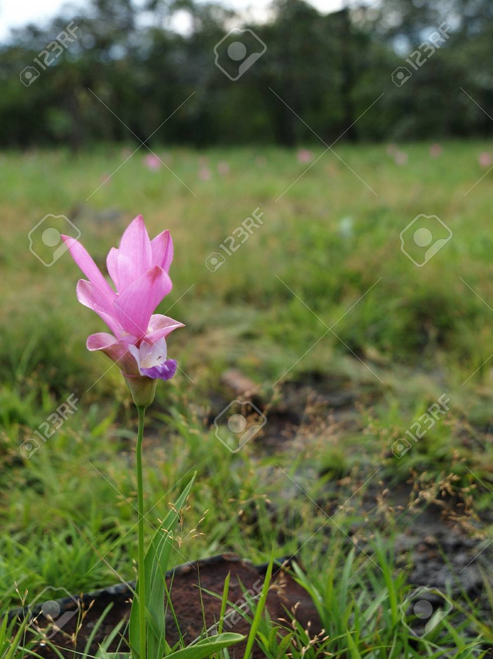 Siam Tulip or Krajeaw flower in national park, thailand Stock Photo - 12522378
