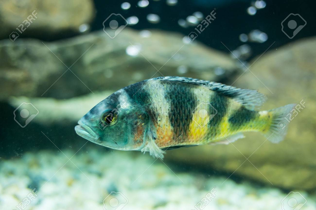 Cyphotilapia frontosa fish Stock Photo - 24174172