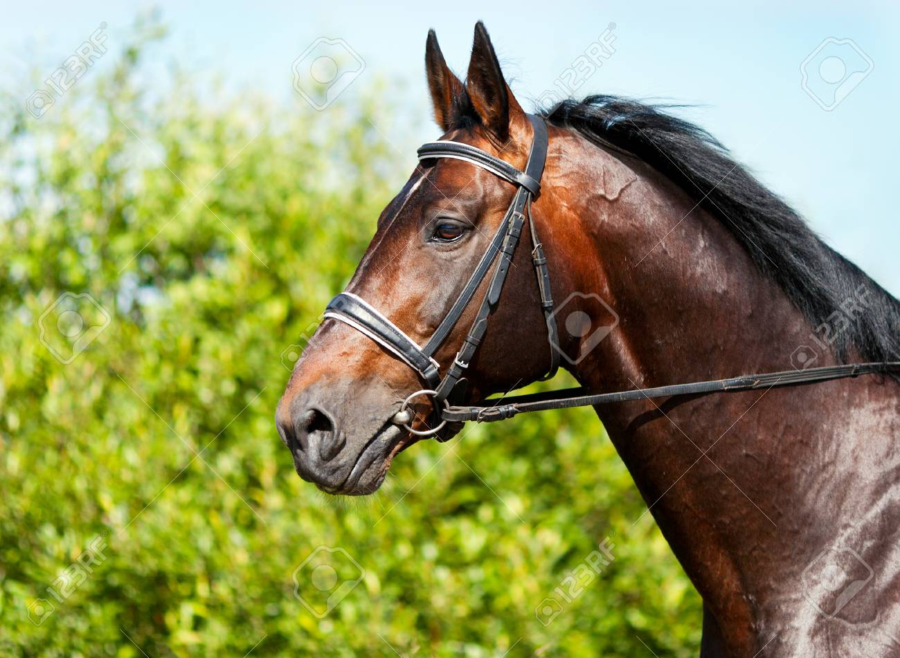 Portrait Of A Dark Bay Horse On A Background Of Green Grass Stock Photo Picture And Royalty Free Image Image 37689052