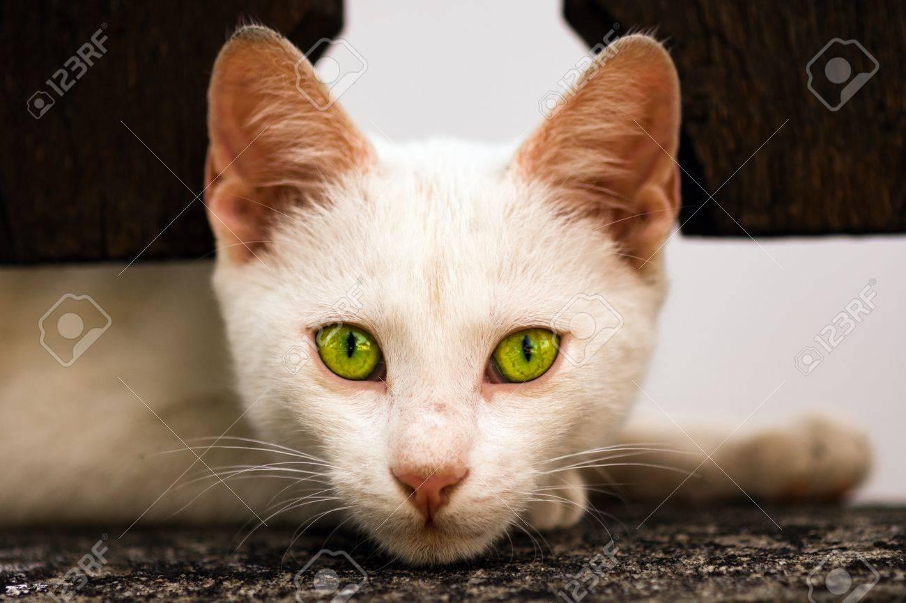 weiße katze mit grünen augen kaufen