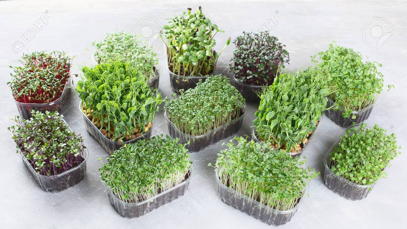 Differend types of Mixed Microgreens in trays on grey background. - 140222077