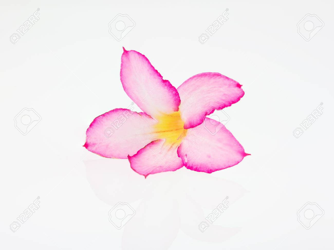 Azalea Flowers On White Background Pink Flower On White Background