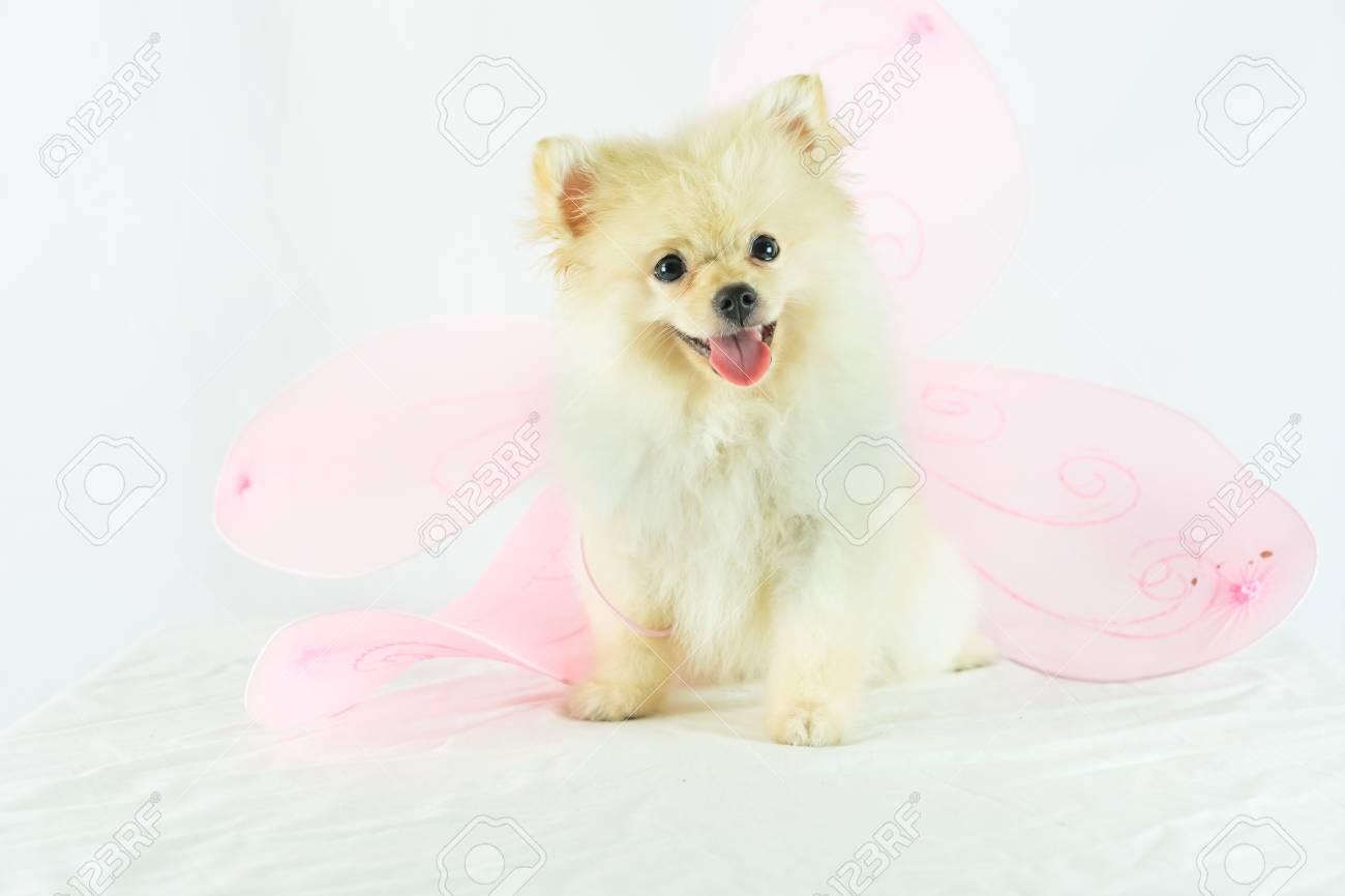 Pomeranian Dog Sitting On Isolated Background Dog Wear Pink Stock