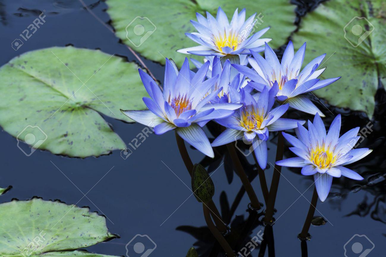 Groupe de fleurs de lotus bleu de nénuphar avec les plantes de lotus dans  l\u0027eau