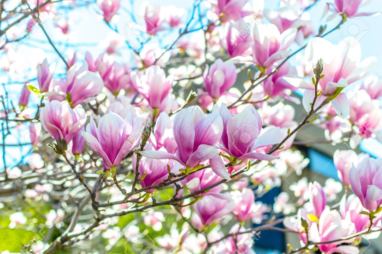 Spring Chinese Magnolia Tree Flowers In Montreal Canada Stock Photo