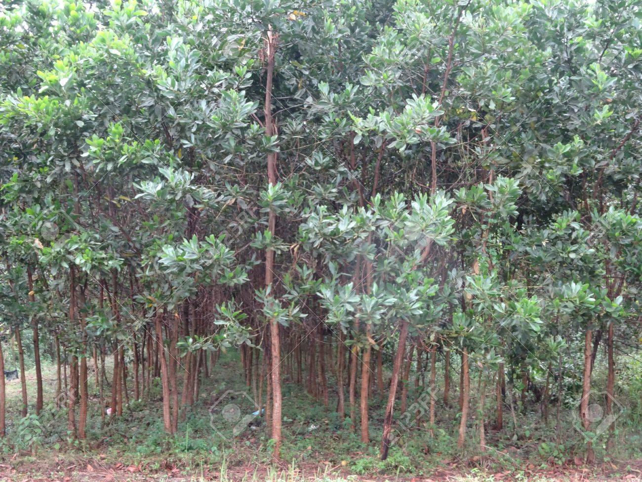 Acacia árbol De Reforestación De Cerca Malasia árbol Muebles De
