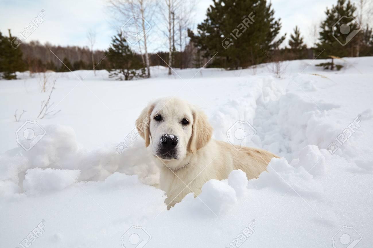 Winter Labrador Retriever Puppy Dog Running In Snow Stock Photo