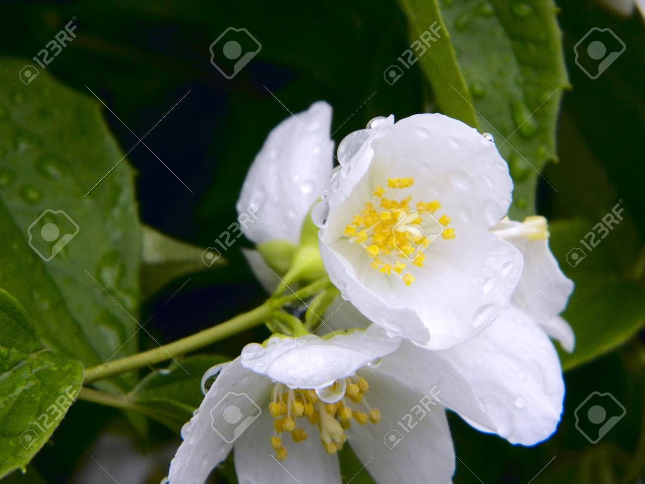Jasmine Flowers Macro View Beautiful Summer Background Soft