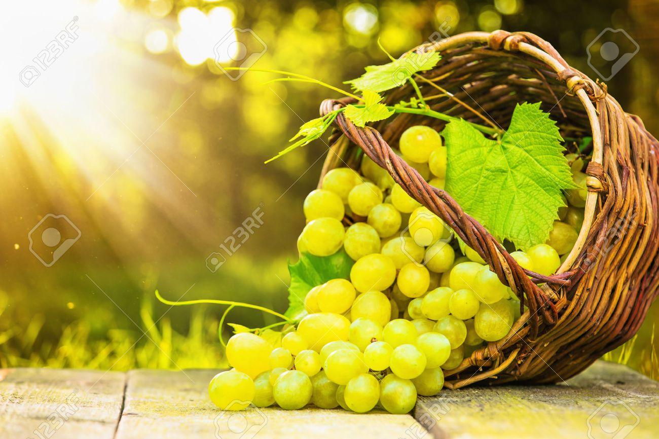 Ripe grapes in wicker basket on sunny background Standard-Bild - 44173968