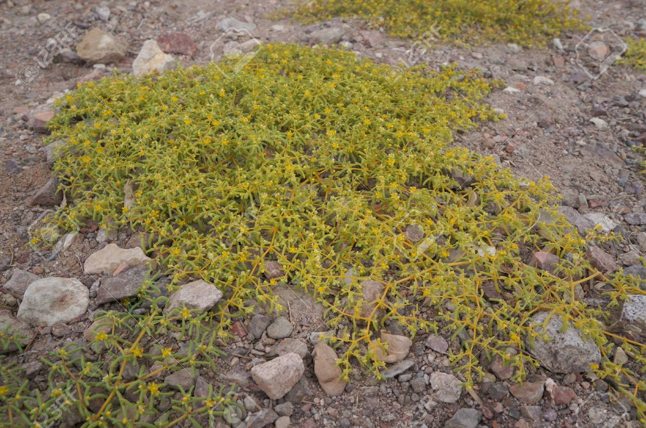 Yellow Desert Flowers Stock Photo Picture And Royalty Free Image