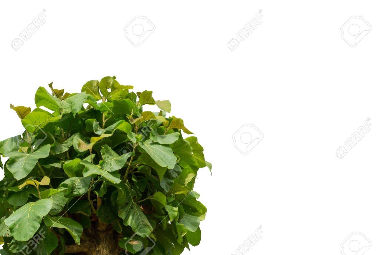 Teakbaum blatt  Teak-Baum Blatt Auf Weißem Hintergrund Lizenzfreie Fotos, Bilder Und ...