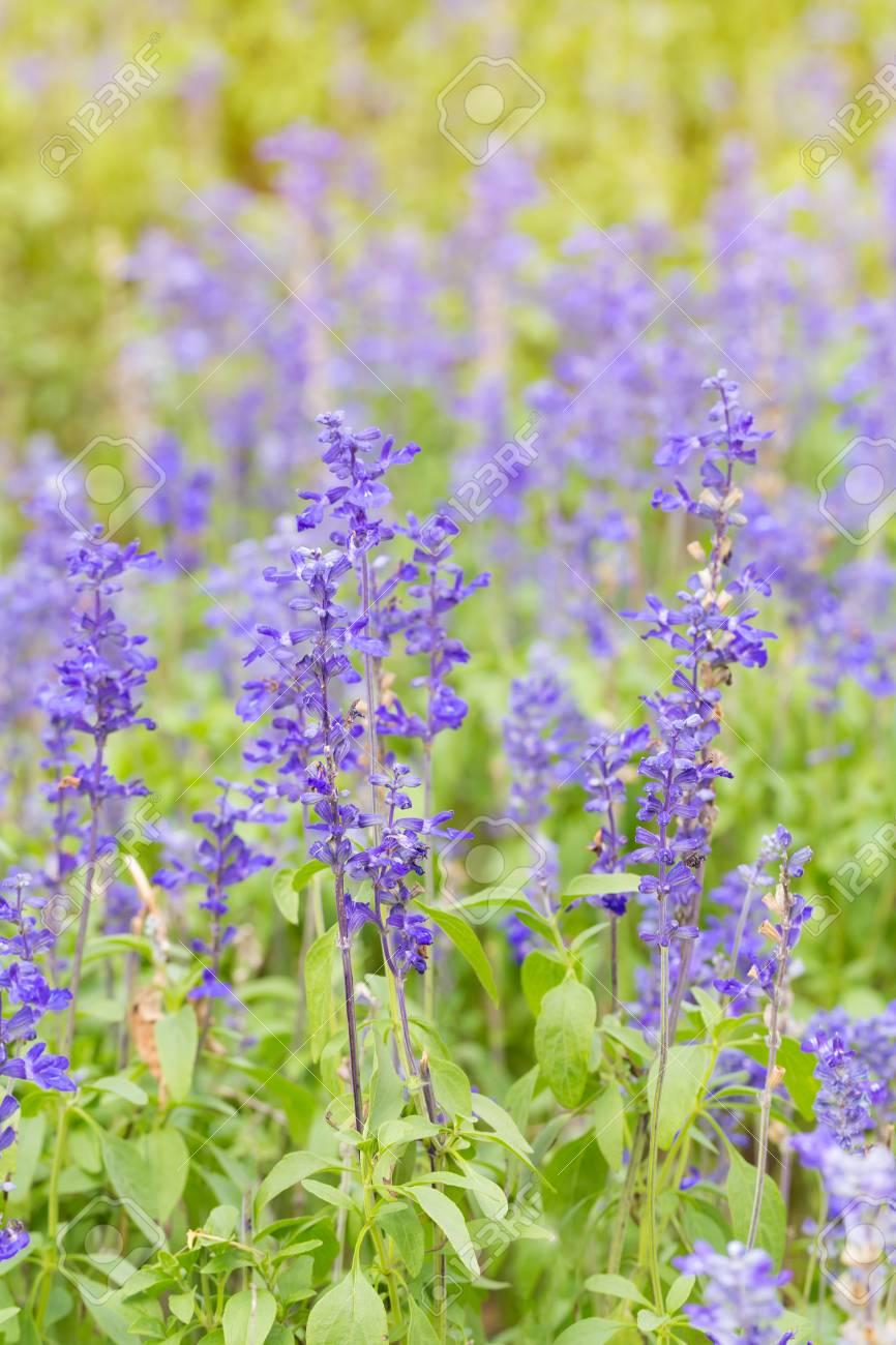 Meadow Sage Salvia Pratensis Herbaceous Perennial Plant Stock