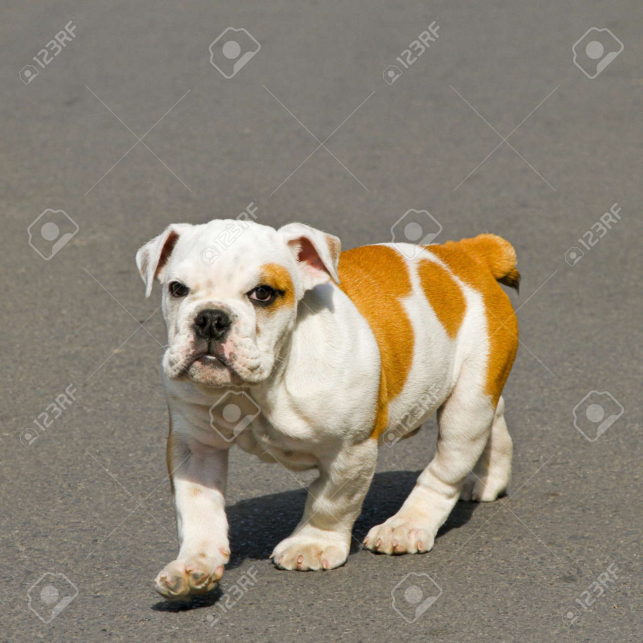 Small English bulldog puppy walking towards camera