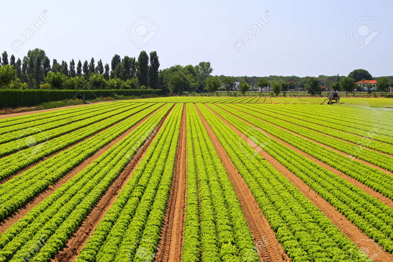 big agriculture field of green salad vegetables stock photo